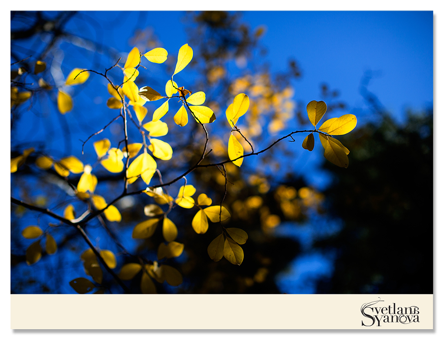 fall photos in banff, fall colors, fall in banff, beautiful photos banff, yellow trees